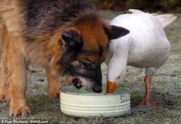 perro y ganso3