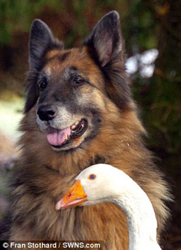 perro y ganso4