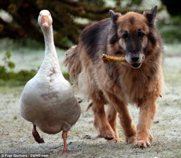perro y ganso5