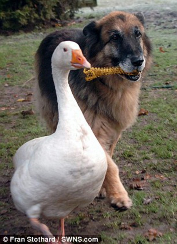 perro y ganso6
