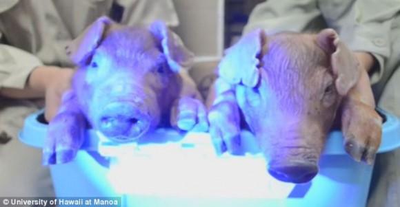 ¡Cerditos psicodélicos! Científicos crean lechones que brillan en la oscuridad. Foto: Daily Mail.