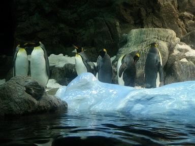 Pingüinos en el Loro Parque Puerto La Cruz, Tenerife. Foto: Rolando