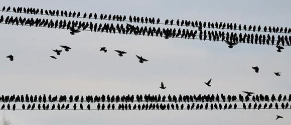 Pájaros estorinos. Foto: AP.