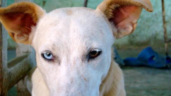 Perro con ojos de dos colores en Pinar del Río: Foto:  Alfredo Ávila Rodríguez