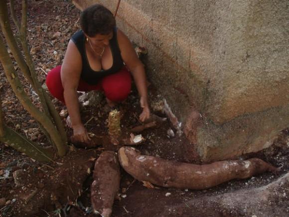 Campesina María Isabel Aguilar Fuentes, junto a yuca gigante de 1,30 metros de largo y 35 libras de peso que cosechó en el patio de su casa, en la finca Monticelo, en la periferia de la ciudad de Matanzas, el 20 de enero de 2014.    AIN   FOTO/Yenli LEMUS DOMÍNGUEZ/
