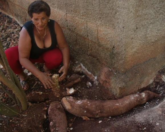 Campesina María Isabel Aguilar Fuentes, con yuca gigante de 1,30 metros de largo y 35 libras de peso, junto a la cual aparecen otras partes del tubérculo que no puede extraer, porque crecieron debajo de los cimientos de su vivienda, en la periferia de la ciudad de Matanzas, 20 de enero de 2014.  AIN  FOTO/Yenli LEMUS DOMÍNGUEZ