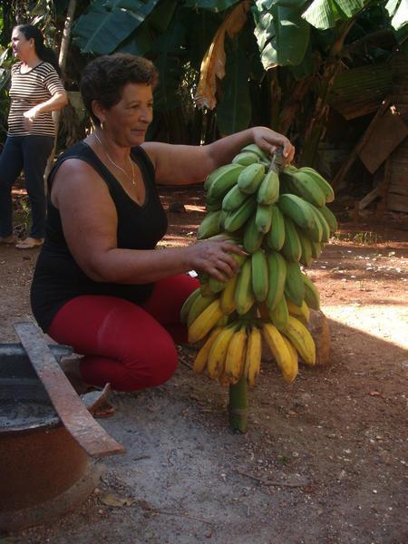 Campesina María Isabel Aguilar Fuentes, junto saludable racimo de plátanos que demuestra la fertilidad de los suelos ferralíticos rojos de su patio, en la finca Monticelo, en la periferia de la ciudad de Matanzas, 20 de enero de 2014. AIN  FOTO/Yenli LEMUS DOMÍNGUEZ