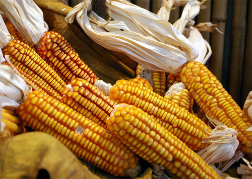 TC1507 se presenta como un maíz altamente reproductivo y resistente a los insectos.