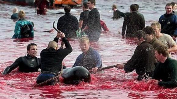 Festival danés de matanza de delfines y ballenas tiñe de rojo el mar  Matanza-de-ballenas-1-580x325