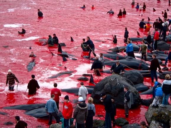 Festival danés de matanza de delfines y ballenas tiñe de rojo el mar  Matanza-de-ballenas-2-580x434
