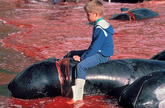 Festival danés de matanza de delfines y ballenas tiñe de rojo el mar  Matanza-de-ballenas-4