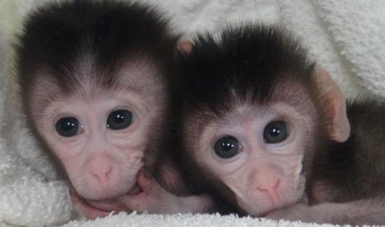 Primeros macacos creado con mutaciones a medida. Foto: CELL
