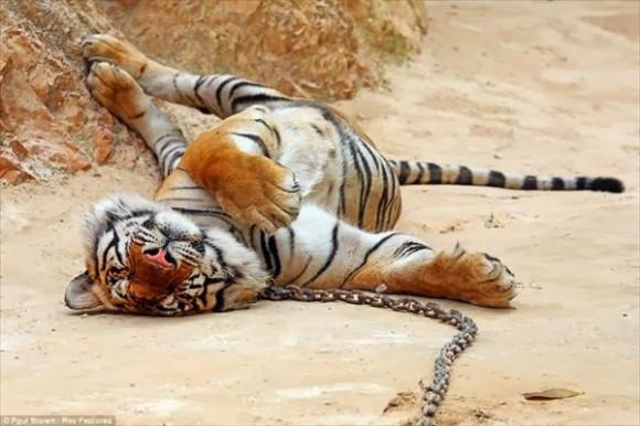 tigresa mata 8 personas