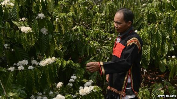 La producción de café en Vietnam ha crecido 20% en 30 años. Foto: Getty Images.
