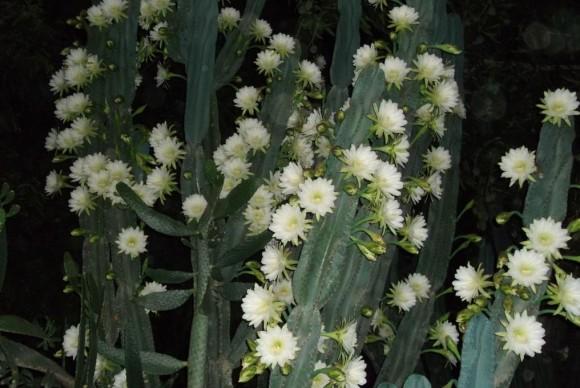 Cactus florecido. Foto: Asiel Cobas