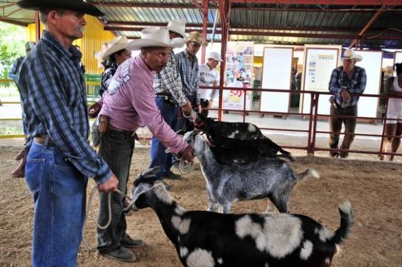 Exposición de ejemplares de ganado caprino en la XVII edición de la  Feria Agroindustrial Alimentaria FIAGROP 2014, inaugurada en La Habana, Cuba, el 17 de marzo de 2014. AIN FOTO/Abel ERNESTO