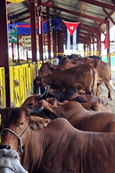 Exposición de ejemplares de ganado vacuno en la XVII edición de la  Feria Agroindustrial Alimentaria FIAGROP 2014, inaugurada en La Habana, Cuba, el 17 de marzo de 2014. AIN FOTO/Abel ERNESTO