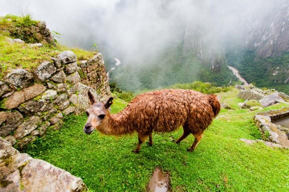 La Llama, muy apreciada por los pobladores andinos.