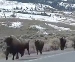 bisontes Yellowstone
