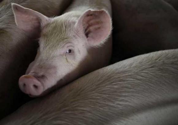 cerdos-en-corral-610x430