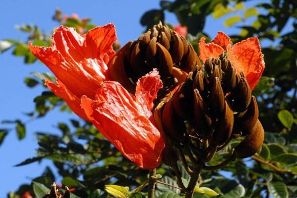 Flores de la Gran Piedra, Santiago de Cuba