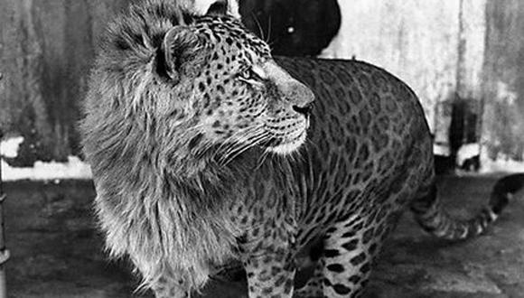 El leopón es un híbrido nacido de un leopardo macho y una leona. Su cabeza recuerda a la de un león, hasta el punto de que puede tener melena, mientras que su cuerpo se corresponde con el de un leopardo. Este híbrido no se encuentra en la naturaleza y, en realidad, hay pocos ejemplos documentados de esta especie.