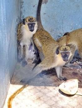En observación monos verdes capturados en Cuba