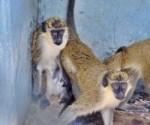 monos verdes foto jose m correa