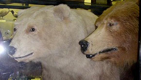 El oso grolar es un híbrido de oso polar y oso pardo (grizzly). Es un animal muy raro, pero existe tanto en cautividad, como en la naturaleza, lo que resulta sorprendente, ya que los hábitat naturales de los osos polares no coinciden con los de los osos pardos. El grolar más reciente fue encontrado en Canadá en 2006.