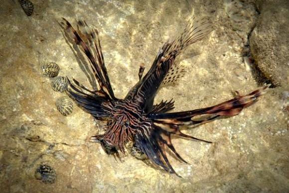 Espécimen de pez león (Pterois volitans), perteneciente a la familia Scorpaenidae, que se reproduce y  ya vive en colonias, en el municipio costero de Gibara, provincia Holguín, Cuba, el 24 de abril de 2014.  AIN  FOTO/Juan Pablo CARRERAS/rrcc