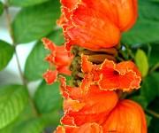El tulipán africano pertenece a la familia de las Bignoniácea, es un hermoso árbol ornamental originario de los bosques de África ecuatorial.