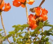 Las flores del Tulipán africano son acampanadas y almacenan en su interior el agua de lluvia o rocío, las cuales son muy atractivas para muchos pájaros.