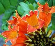Las flores del Tulipán africano miden 7 cm de largo por 5 de ancho, tienen forma de campanas con tonalidades entre el naranja brillante y el rojo escarlata.