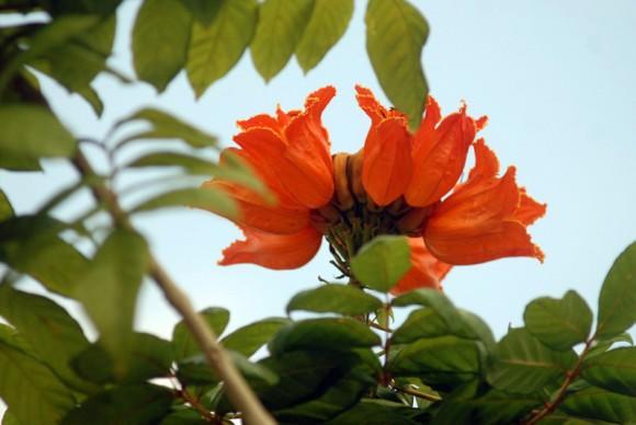 Las hojas del Tulipán africano miden entre 35 cm de largo y 20 cm de ancho.