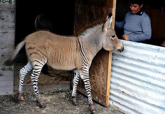 El Zebroide o cebroide es el resultado del cruce de una cebra con cualquier otro équido. El cebrasno nacido esta semana en México es un híbrido de una cebra y un asno.