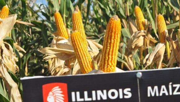 Illinois maiz