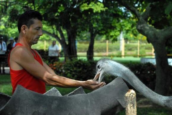 Solito, nombre del  avestruz (Struthio camelus), es alimentado por uno de sus cuidadores en el Zoológico Provincial de Las Tunas, este espécimen  fue reproducido en condiciones de cautiverio en esa institución tunera. 23 de mayo de 2014.   AIN  FOTO/Yaciel PEÑA DE LA PEÑA/