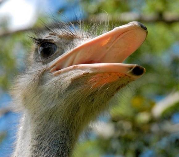 Solito, el avestruz (Struthio camelus),primero de su especie reproducido en condiciones de cautiverio en el Zoológico Provincial de Las Tunas, celebró el 20 de mayo pasado su primer año de vida en esa institución tunera. 23 de mayo de 2014.   AIN  FOTO/Yaciel PEÑA DE LA PEÑA/