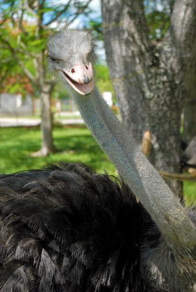 Solito, avestruz (Struthio camelus),  primer espécimen reproducido en condiciones de cautiverio en el Zoológico Provincial de Las Tunas, celebró el pasado 20 de mayo  su primer año de vida en esa institución tunera. 23 de mayo de 2014.   AIN  FOTO/Yaciel PEÑA DE LA PEÑA