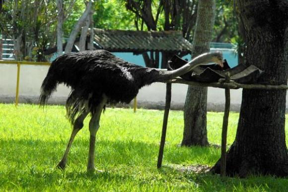 Solito, avestruz (Struthio camelus), es adicto al melón y se come diariamente de 10 a 15 kilogramos  de comida, es el primero de su especie reproducido en condiciones de cautiverio en el Zoológico Provincial de Las Tunas. 23 de mayo de 2014.   AIN  FOTO/Yaciel PEÑA DE LA PEÑA