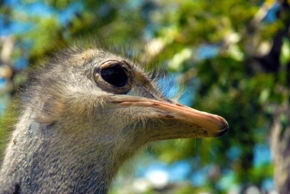 Solito, primer espécimen de avestruz (Struthio camelus), reproducido en condiciones de cautiverio en el Zoológico Provincial de Las Tunas, celebró el pasado 20 de mayo  su primer año de vida en esa institución.23 de mayo de 2014.   AIN  FOTO/Yaciel PEÑA DE LA PEÑA
