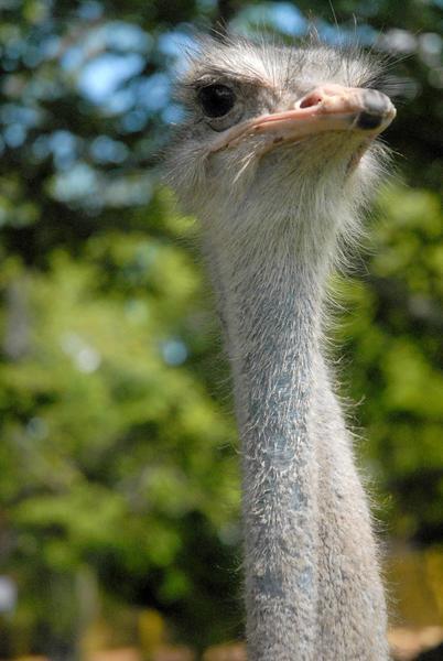 Solito, el avestruz (Struthio camelus) primero de su especie reproducido en condiciones de cautiverio en el Zoológico Provincial de Las Tunas, celebró el pasado 20 de mayo su primer año de vida en esa institución. 23 de mayo de 2014.   AIN  FOTO/Yaciel PEÑA DE LA PEÑA/
