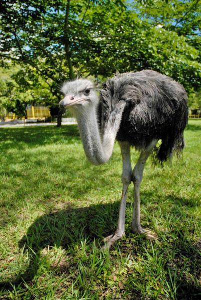 El avestruz (Struthio camelus) llamado Solito es una especie de ave estrutioniforme de la familia Struthionidae, es  grande y no vuela, sino que es corredora, este espécimen fue reproducido en condiciones de cautiverio en el Zoológico Provincial de Las Tunas, y el pasado 20 de mayo celebró su primer año de vida en esa institución tunera.  23 de mayo de 2014.   AIN  FOTO/Yaciel PEÑA DE LA PEÑA/
