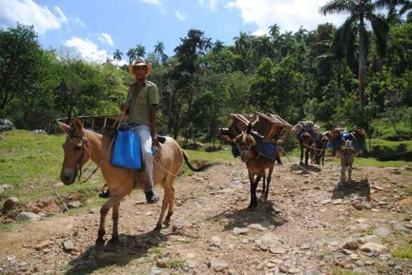 Arriero con sus mulos transporta las cargas, escena típica en la Sierra Maestra, la cadena montañosa más alta de Cuba, en el municipio de Guisa, provincia de Granma. 16 de mayo de 2014. Foto: Armando Ernesto CONTRERAS TAMAYO/ AIN