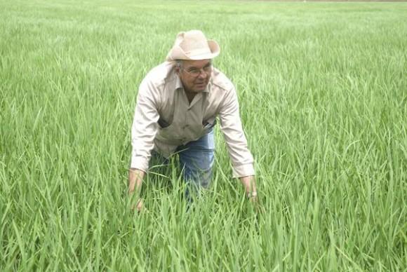 Luís Morejón, campesino fundador del proyecto de colaboración Cuba- Viet Nam, para la cosecha de arroz, en el municipio Aguada de Pasajeros e integrante de la Cooperativa de Créditos y Servicios (CCS)  Jesús Sardiñas, en Cienfuegos, Cuba, 16 de mayo de 2014.    Foto: Modesto GUTIÉRREZ CABO/ AIN