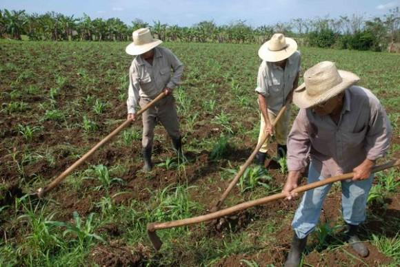 Integrantes de la Cooperativa de Créditos y Servicios (CCS) Raúl Suárez Martínez, de la Asociación Nacional de Agricultores Pequeños (ANAP), realizan tareas de deshierbe de maíz, en el Consejo Popular Parque Alto, del municipio Rodas, provincia de Cienfuegos, Cuba, 16 de mayo de 2014.   Foto: Modesto GUTIÉRREZ CABO/AIN