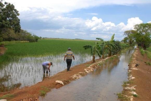 Sistema de regadío para arroz, en la Finca La Chafarina de Luís Morejón, de la Cooperativa de Créditos y Servicios (CCS)  Jesús Sardiñas, en el  municipio Aguada de Pasajeros, en la provincia de Cienfuegos, Cuba, 16 de mayo de 2014.  Foto: Modesto GUTIÉRREZ CABO/ AIN