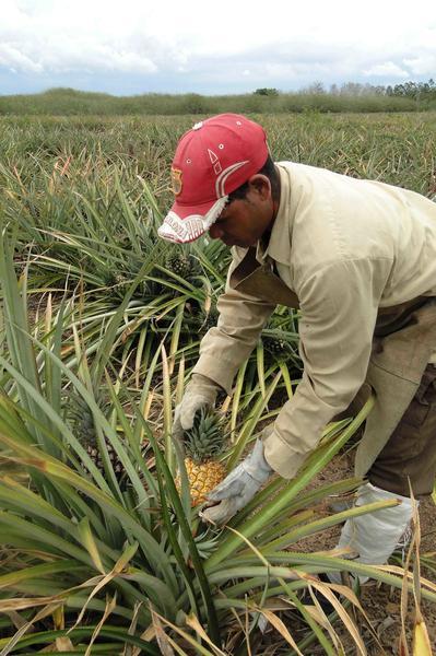 Cultivo de Piña por un campesino de la Asociación Nacional de Agricultores Pequeños (ANAP), del municipio Aguada de Pasajeros, en la provincia de Cienfuegos, Cuba, 16 de mayo de 2014.  Foto: Modesto GUTIÉRREZ CABO/ AIN