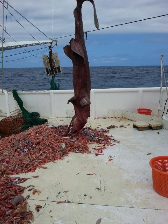Un abuelo con su nieto capturaron en los cayos de Florida un tiburón duende y lo devolvieron al mar luego de tomarle fotografías. Foto: EFE