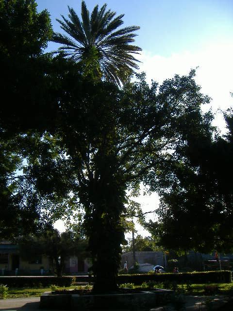"""""""El árbol que silba y canta"""" - Báguanos, Holguín foto Dolennis Concepción"""